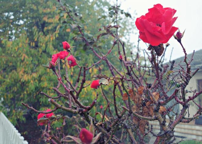 rose-spiderweb