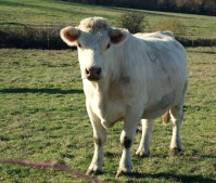 cow-front