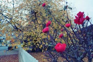 roses-et-feuilles